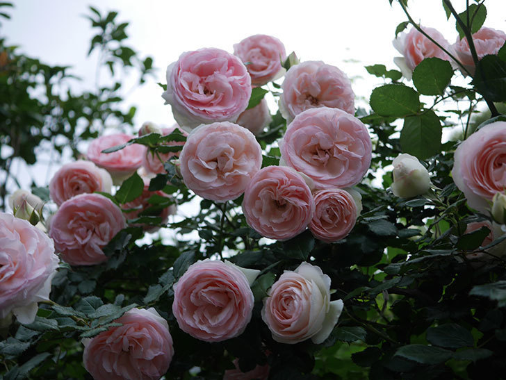 ピエール・ドゥ・ロンサール(ツルバラ)の花が開いてピンクになってきた。2020年-046.jpg