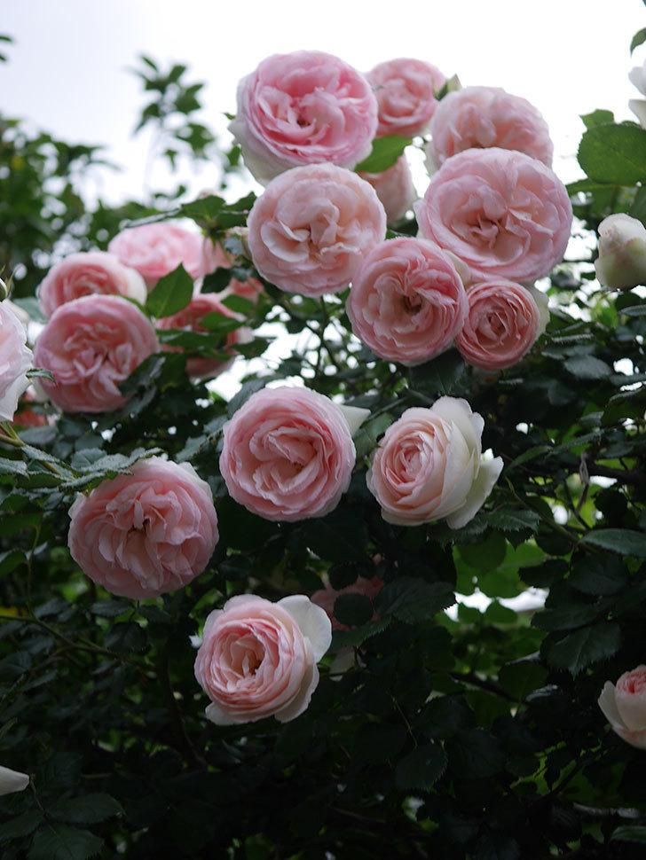 ピエール・ドゥ・ロンサール(ツルバラ)の花が開いてピンクになってきた。2020年-047.jpg