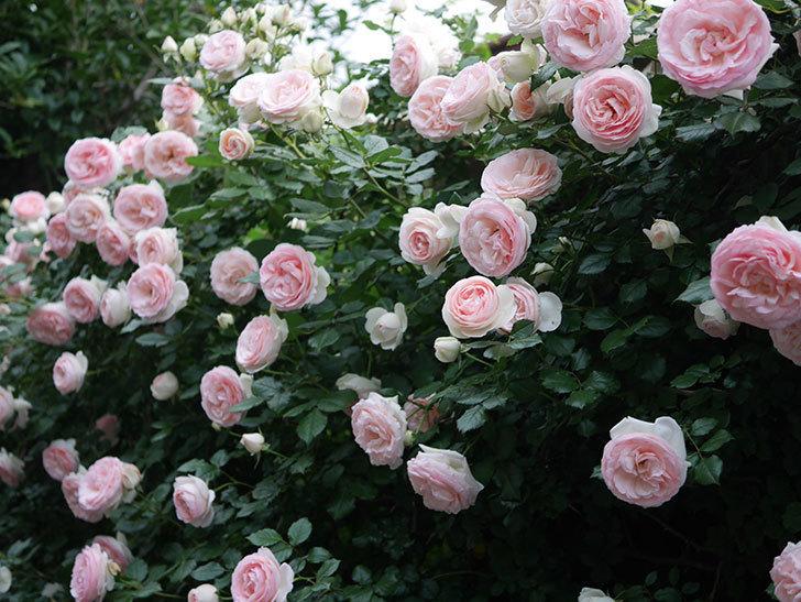 ピエール・ドゥ・ロンサール(ツルバラ)の花が開いてピンクになってきた。2020年-048.jpg