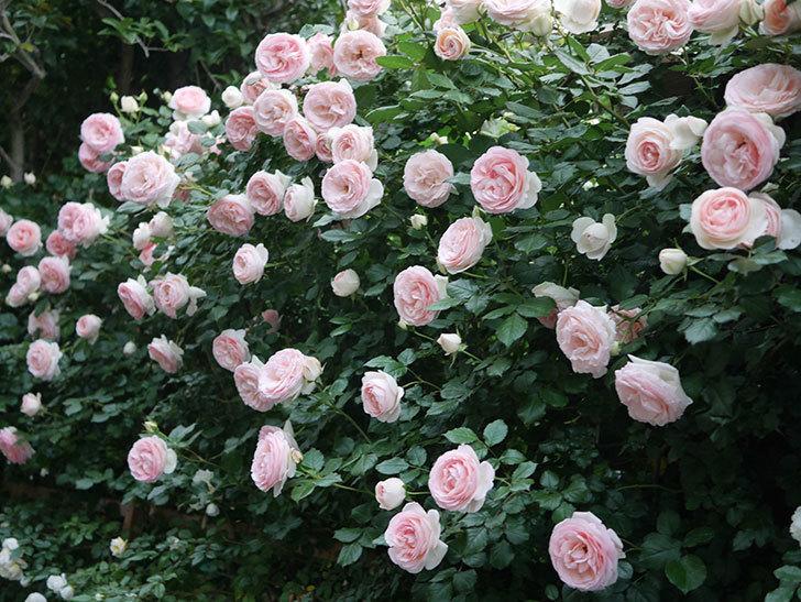 ピエール・ドゥ・ロンサール(ツルバラ)の花が開いてピンクになってきた。2020年-049.jpg