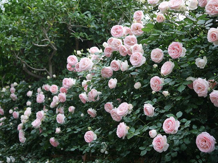 ピエール・ドゥ・ロンサール(ツルバラ)の花が開いてピンクになってきた。2020年-050.jpg