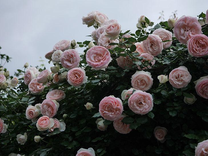 ピエール・ドゥ・ロンサール(ツルバラ)の花が開いてピンクになってきた。2020年-051.jpg