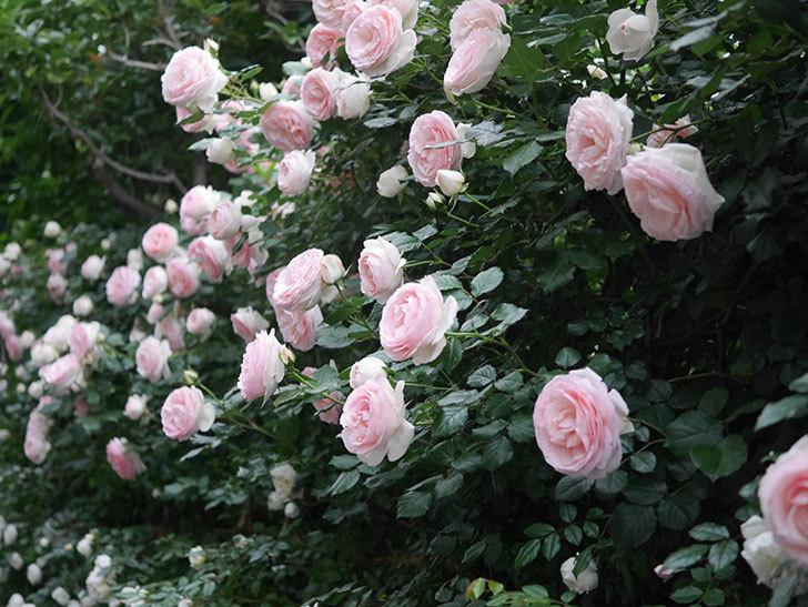 ピエール・ドゥ・ロンサール(ツルバラ)の花が開いてピンクになってきた。2020年-052.jpg