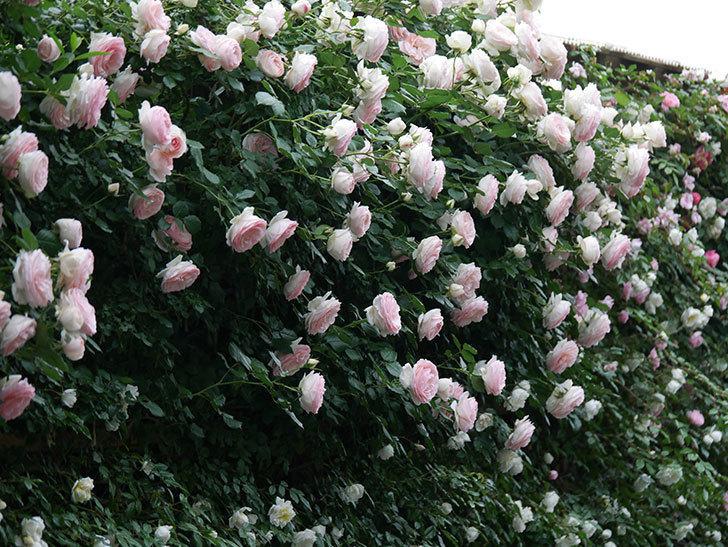 ピエール・ドゥ・ロンサール(ツルバラ)の花が開いてピンクになってきた。2020年-053.jpg