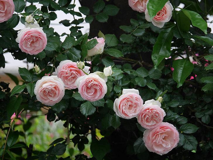 ピエール・ドゥ・ロンサール(ツルバラ)の花が開いてピンクになってきた。2020年-054.jpg