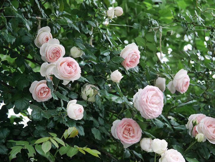 ピエール・ドゥ・ロンサール(ツルバラ)の花が開いてピンクになってきた。2020年-055.jpg