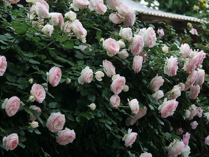 ピエール・ドゥ・ロンサール(ツルバラ)の花が開いてピンクになってきた。2020年-056.jpg