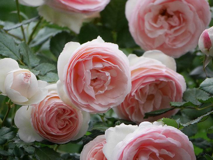 ピエール・ドゥ・ロンサール(ツルバラ)の花が開いてピンクになってきた。2020年-057.jpg