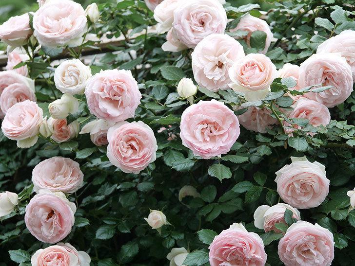 ピエール・ドゥ・ロンサール(ツルバラ)の花が開いてピンクになってきた。2020年-058.jpg