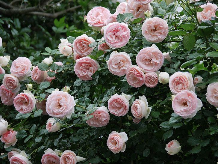 ピエール・ドゥ・ロンサール(ツルバラ)の花が開いてピンクになってきた。2020年-059.jpg
