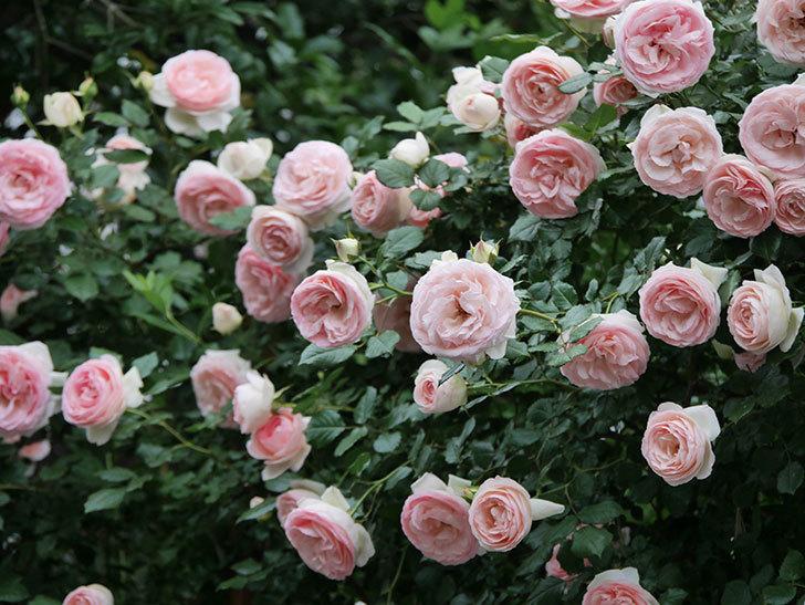 ピエール・ドゥ・ロンサール(ツルバラ)の花が開いてピンクになってきた。2020年-061.jpg