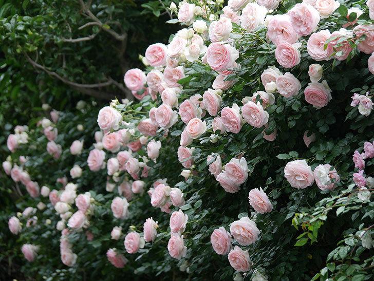 ピエール・ドゥ・ロンサール(ツルバラ)の花が開いてピンクになってきた。2020年-062.jpg