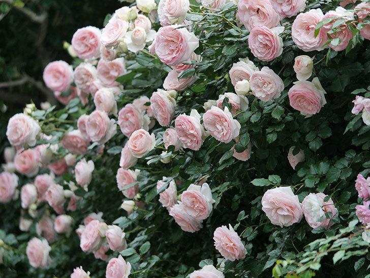 ピエール・ドゥ・ロンサール(ツルバラ)の花が開いてピンクになってきた。2020年-063.jpg