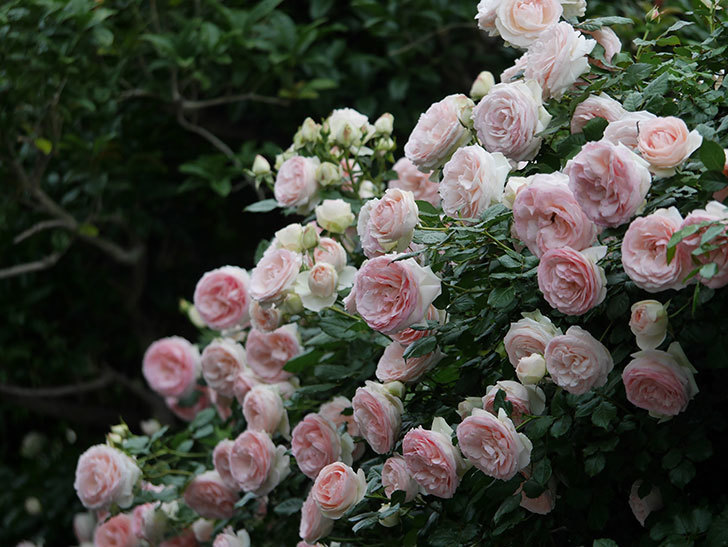 ピエール・ドゥ・ロンサール(ツルバラ)の花が開いてピンクになってきた。2020年-064.jpg