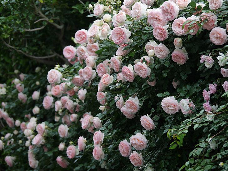 ピエール・ドゥ・ロンサール(ツルバラ)の花が開いてピンクになってきた。2020年-065.jpg