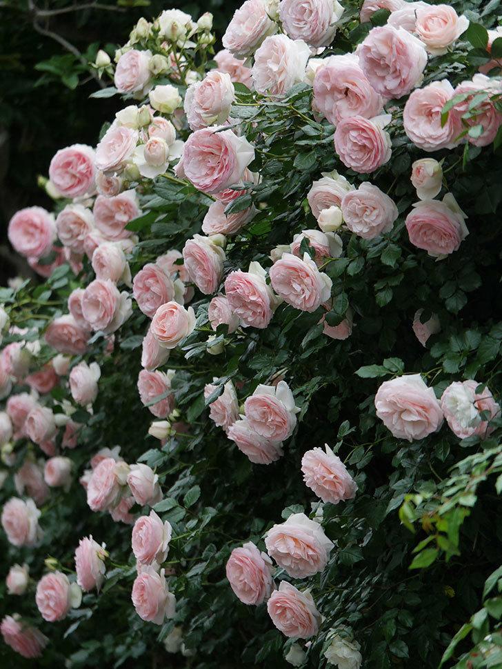 ピエール・ドゥ・ロンサール(ツルバラ)の花が開いてピンクになってきた。2020年-066.jpg