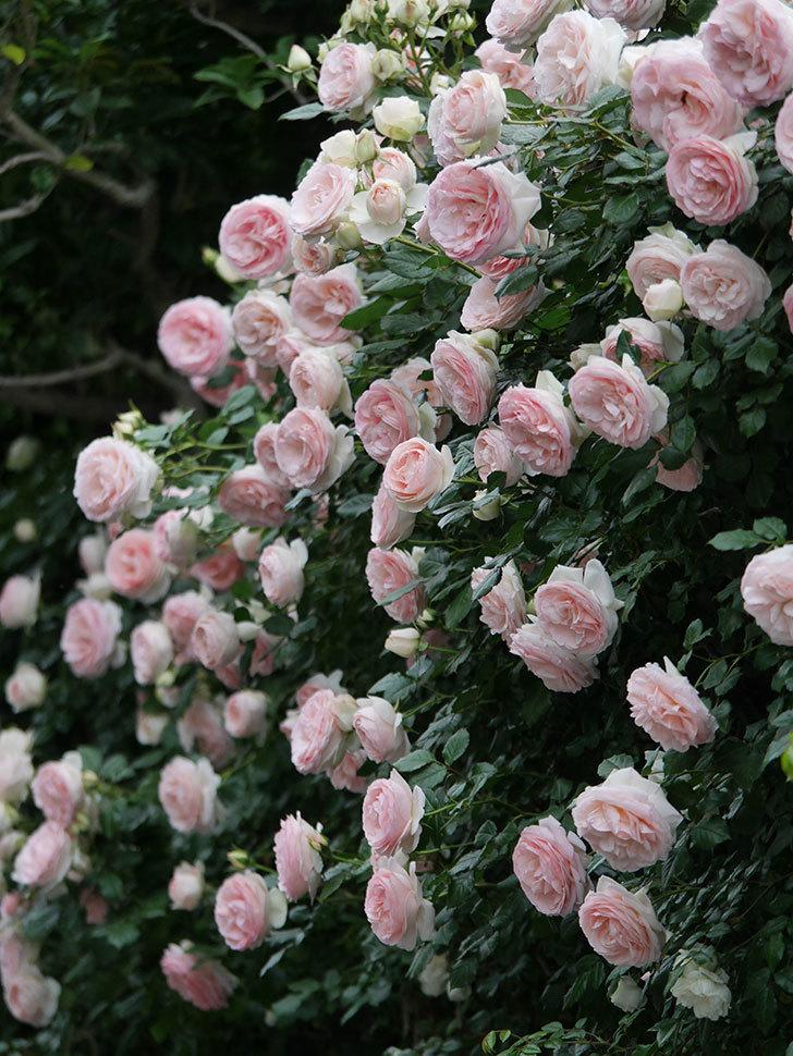 ピエール・ドゥ・ロンサール(ツルバラ)の花が開いてピンクになってきた。2020年-067.jpg