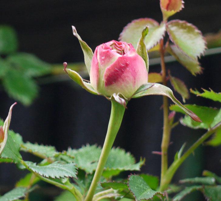 ピエール・ドゥ・ロンサール(ツルバラ)の蕾が色づいてきた。2018年-3.jpg
