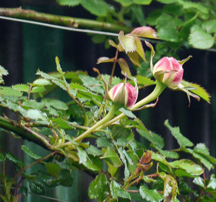 ピエール・ドゥ・ロンサール(ツルバラ)の蕾が色づいてきた。2018年-5.jpg