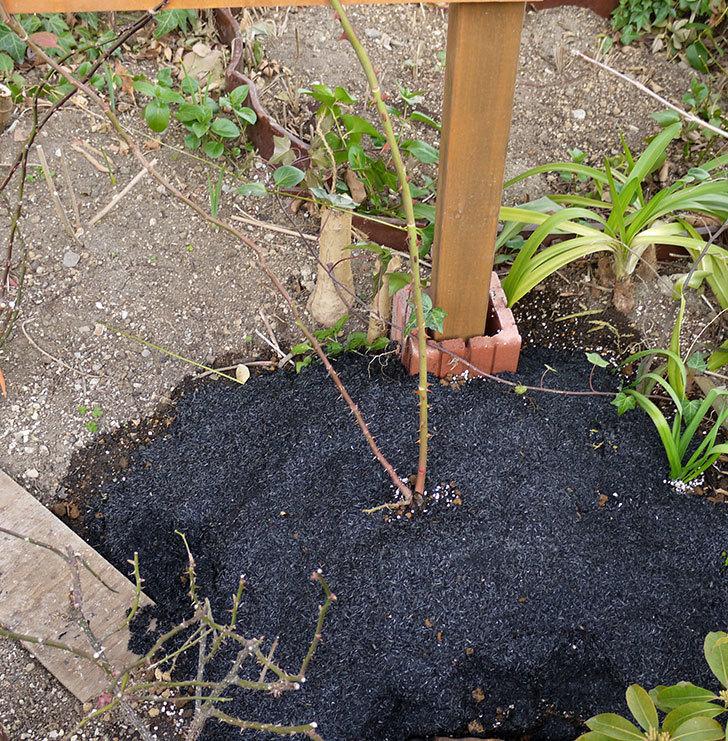 ピエール・ドゥ・ロンサール(ツルバラ)の鉢植えを地植えして誘引した。2017年-1.jpg