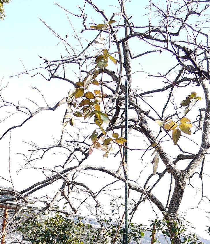 ピエール・ドゥ・ロンサール(ツルバラ)の鉢植えを地植えして誘引した。2017年-10.jpg