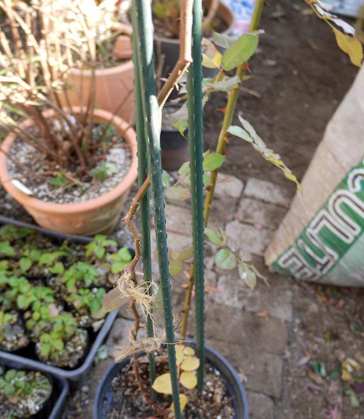 ピエール・ドゥ・ロンサール(ツルバラ)の鉢植えを地植えして誘引した。2017年-11.jpg