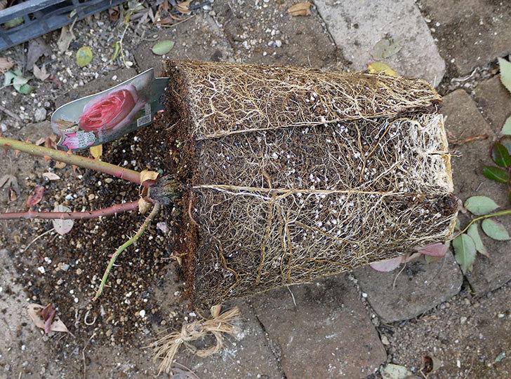 ピエール・ドゥ・ロンサール(ツルバラ)の鉢植えを地植えして誘引した。2017年-12.jpg