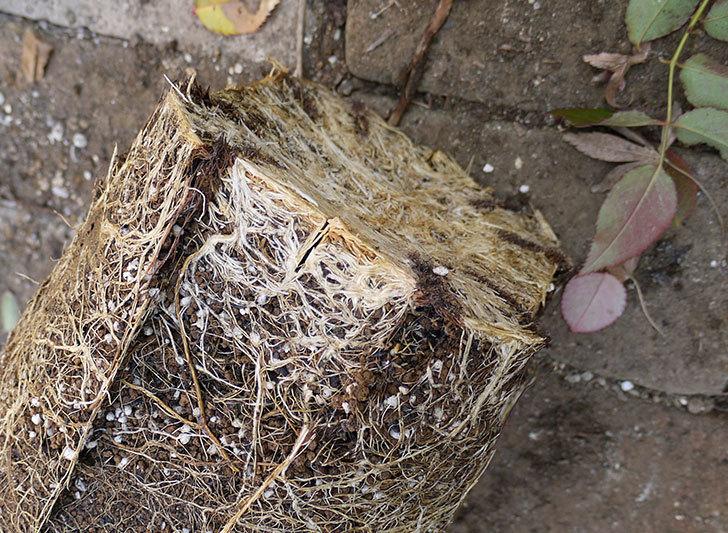 ピエール・ドゥ・ロンサール(ツルバラ)の鉢植えを地植えして誘引した。2017年-13.jpg