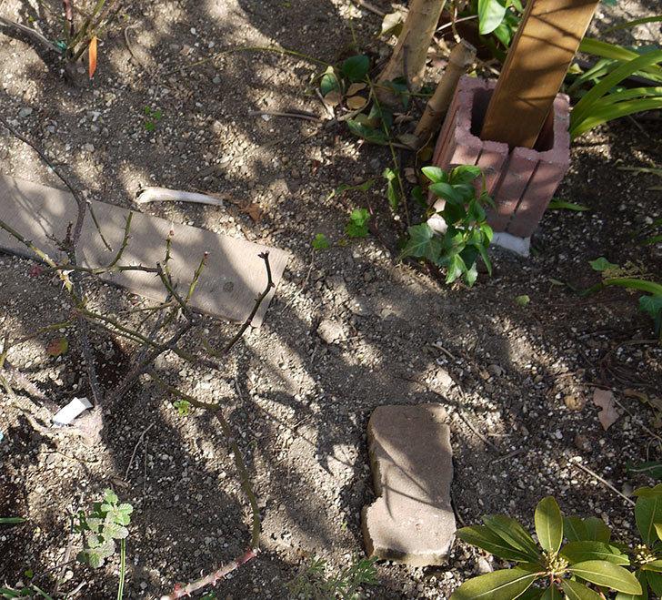 ピエール・ドゥ・ロンサール(ツルバラ)の鉢植えを地植えして誘引した。2017年-2.jpg