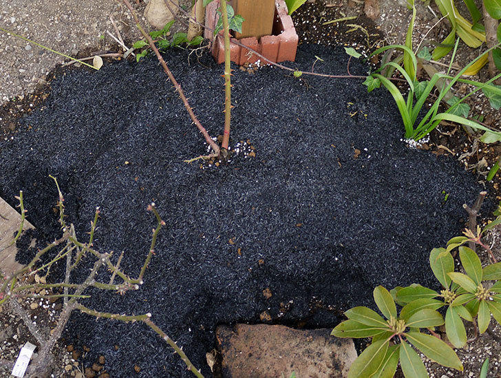 ピエール・ドゥ・ロンサール(ツルバラ)の鉢植えを地植えして誘引した。2017年-20.jpg