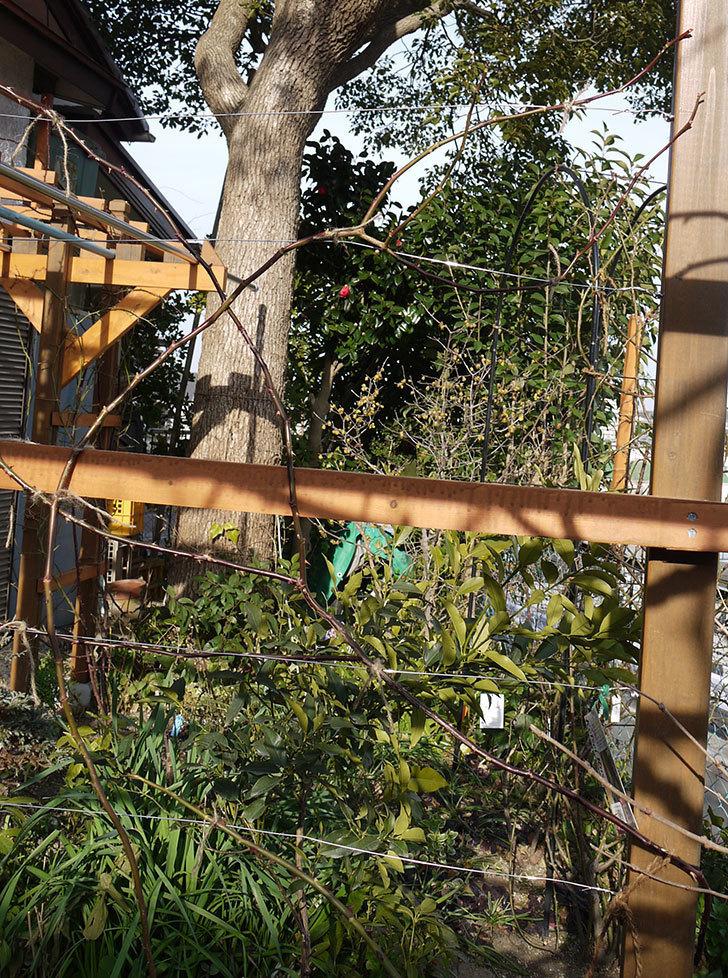 ピエール・ドゥ・ロンサール(ツルバラ)の鉢植えを地植えして誘引した。2017年-22.jpg