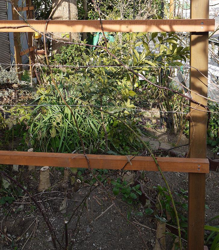 ピエール・ドゥ・ロンサール(ツルバラ)の鉢植えを地植えして誘引した。2017年-23.jpg