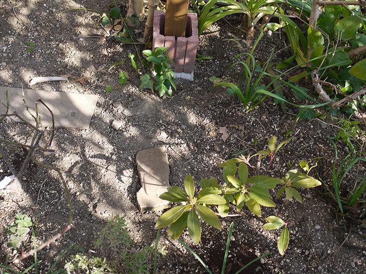 ピエール・ドゥ・ロンサール(ツルバラ)の鉢植えを地植えして誘引した。2017年-3.jpg