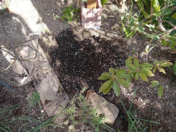 ピエール・ドゥ・ロンサール(ツルバラ)の鉢植えを地植えして誘引した。2017年-8.jpg