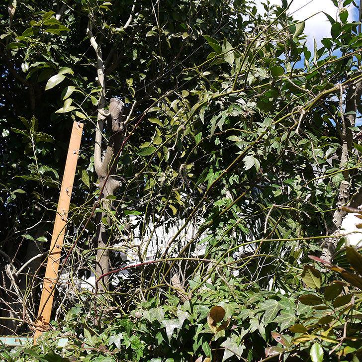 ピエール・ドゥ・ロンサール(ツルバラ)をフェンスに誘引した。2017年-5.jpg