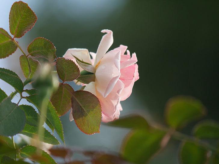 ピエール・ドゥ・ロンサール(Pierre de Ronsard)の2番花が咲いた。ツルバラ。2020年-001.jpg