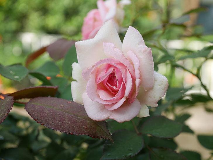 ピエール・ドゥ・ロンサール(Pierre de Ronsard)の2番花が咲いた。ツルバラ。2020年-004.jpg