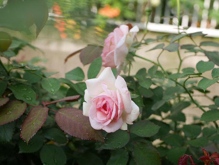 ピエール・ドゥ・ロンサール(Pierre de Ronsard)の2番花が咲いた。ツルバラ。2020年-005.jpg