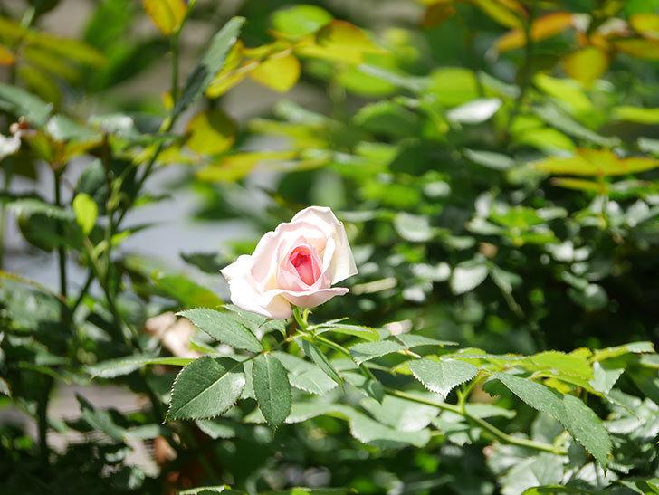 ピエール・ドゥ・ロンサール(Pierre de Ronsard)の2番花が咲いた。ツルバラ。2021年-001.jpg