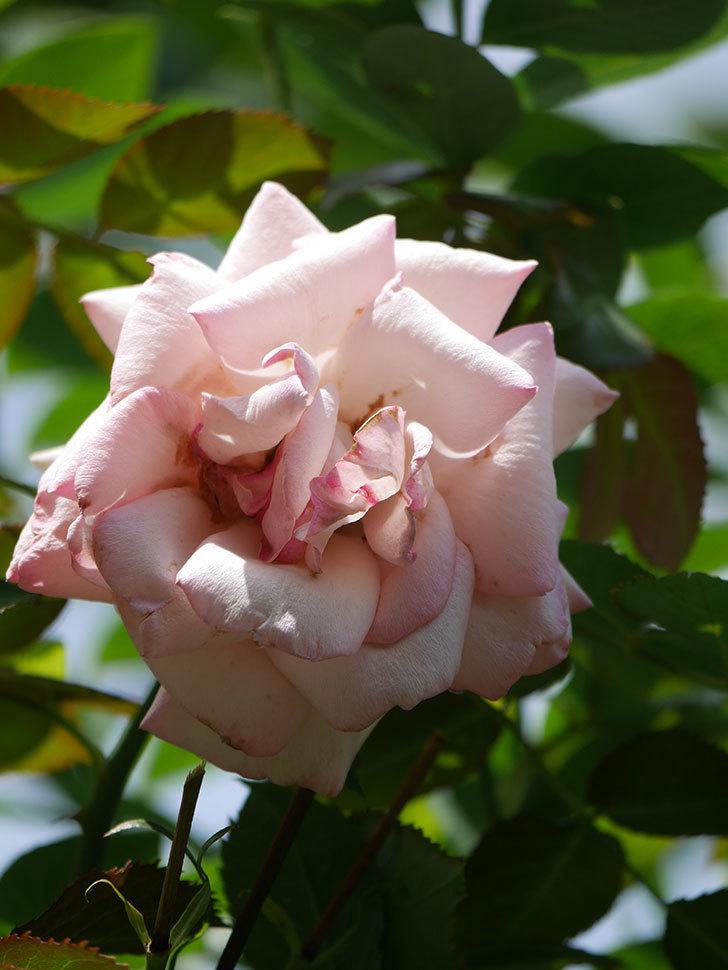 ピエール・ドゥ・ロンサール(Pierre de Ronsard)の2番花が咲いた。ツルバラ。2021年-004.jpg