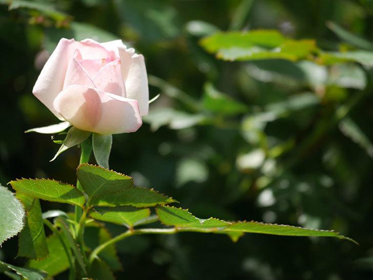 ピエール・ドゥ・ロンサール(Pierre de Ronsard)の2番花が咲いた。ツルバラ。2021年-005.jpg