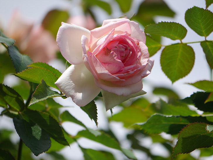 ピエール・ドゥ・ロンサール(Pierre de Ronsard)の2番花が咲いた。ツルバラ。2021年-006.jpg
