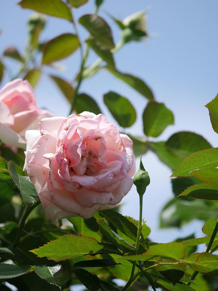 ピエール・ドゥ・ロンサール(Pierre de Ronsard)の2番花が咲いた。ツルバラ。2021年-008.jpg