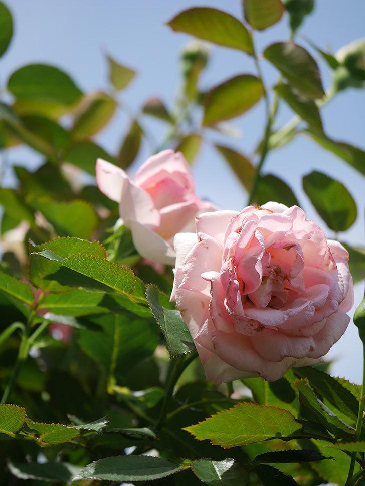 ピエール・ドゥ・ロンサール(Pierre de Ronsard)の2番花が咲いた。ツルバラ。2021年-009.jpg