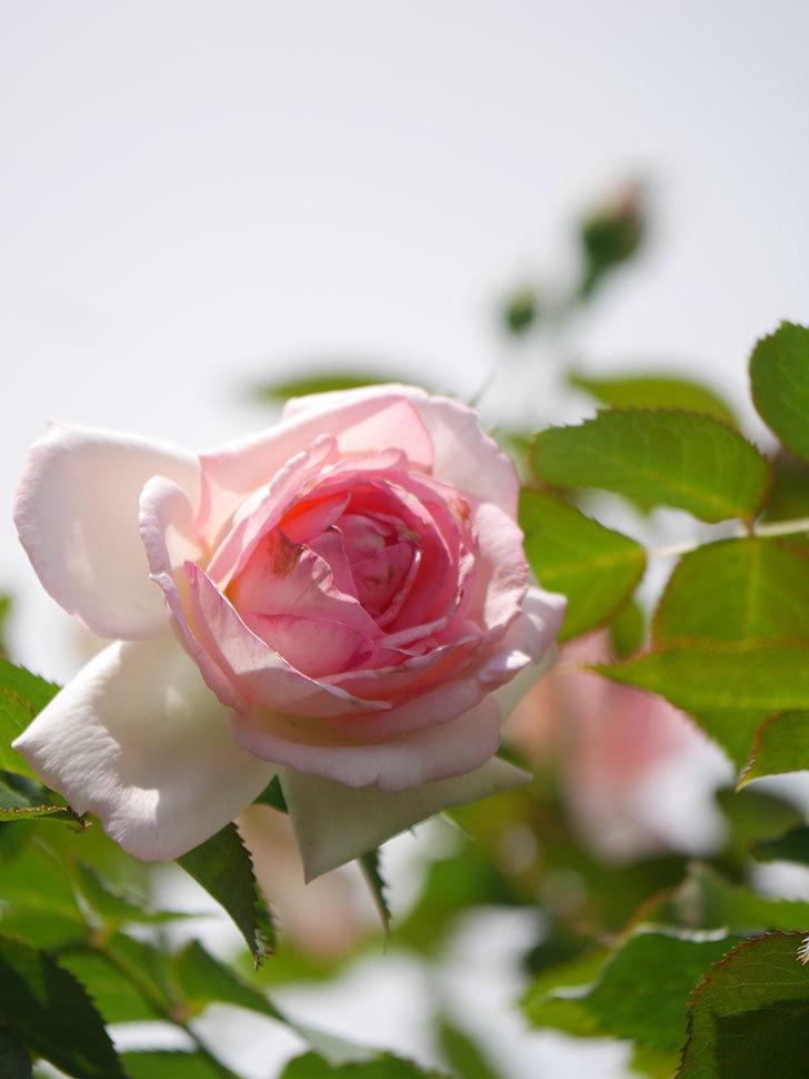 ピエール・ドゥ・ロンサール(Pierre de Ronsard)の2番花が咲いた。ツルバラ。2021年-010.jpg