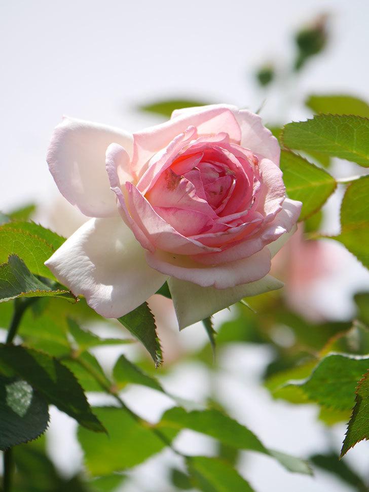 ピエール・ドゥ・ロンサール(Pierre de Ronsard)の2番花が咲いた。ツルバラ。2021年-011.jpg
