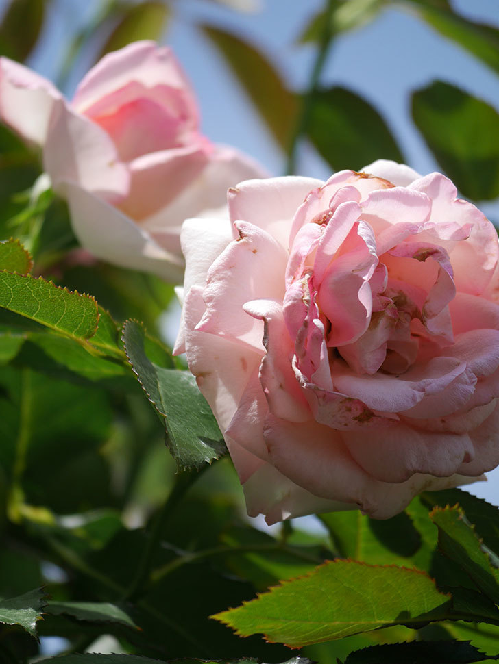 ピエール・ドゥ・ロンサール(Pierre de Ronsard)の2番花が咲いた。ツルバラ。2021年-012.jpg