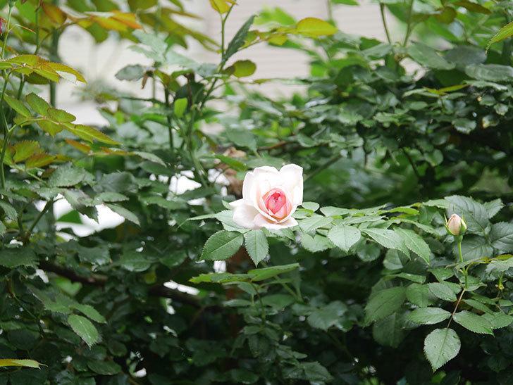 ピエール・ドゥ・ロンサール(Pierre de Ronsard)の2番花が咲いた。ツルバラ。2021年-013.jpg