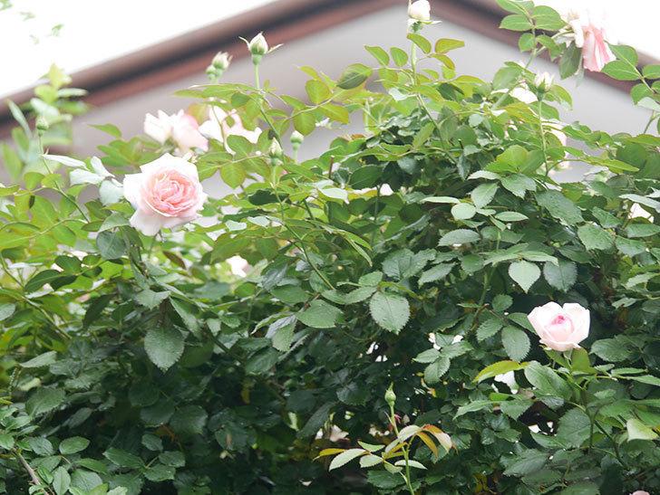 ピエール・ドゥ・ロンサール(Pierre de Ronsard)の2番花が咲いた。ツルバラ。2021年-017.jpg