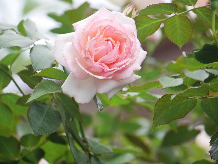 ピエール・ドゥ・ロンサール(Pierre de Ronsard)の2番花が咲いた。ツルバラ。2021年-018.jpg